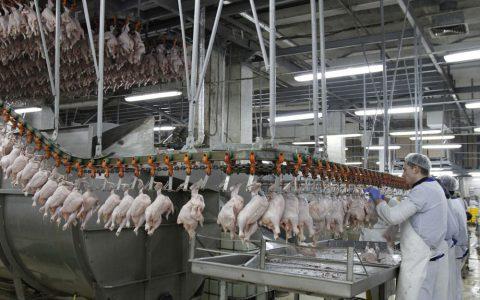 l_poulet-volaille-industrie